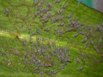 Zierfische eine dokumentation der zucht von skalaris for Zierfische teich
